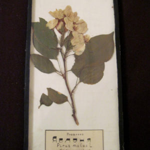 """ТМО-11887. Гербарий """"Яблоня"""" Растение, сушка. Тотемский краеведческий музей. 1946 г."""