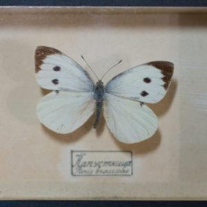 ТМО 11553. Бабочка «Капустница»  - Pieris brassicae Сухой препарат. Сушка, органика. Боровский В.В.1937 г.